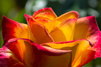 Photograph - Morning Sun Rose by Tikvah's Hope