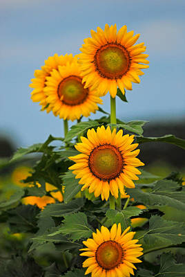 Photograph - Morning Sunflowers On Edisto Island Sc by Willie Harper