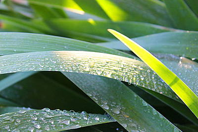 Photograph - Morning Sunlight On The Leaves Of Iris by Kume Bryant