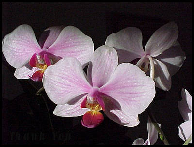 Orchids Photograph - Morning Sunlight Orchids And A Reminder To Utter The Words Thank You. by Raenell Ochampaugh