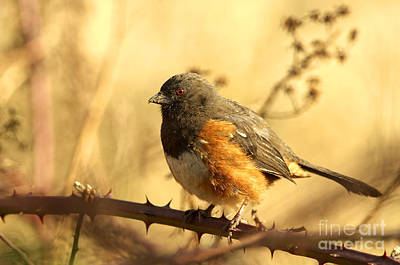 With Red Photograph - Morning Towhee by Sharon Talson