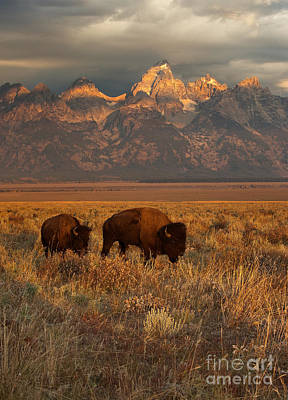 Bison Photograph - Morning Travels In Grand Teton by Sandra Bronstein