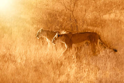 Lioness Wall Art - Photograph - Morning Walk by Sayyed Nayyer Reza