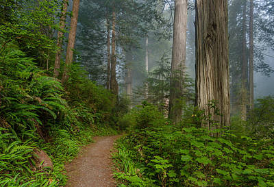Photograph - Morning Walk Through Redwoods by Greg Nyquist