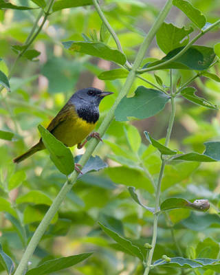 Photograph - Morning Warbler by Timothy McIntyre