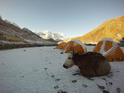 Morning Yak Greeting In The Khumbu Original by Jon Kedrowski