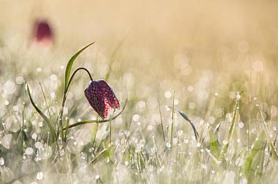 Fritillaries Photograph - Morningdew by Anton Van Dongen