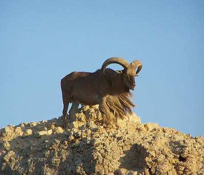 Moroccan Barbary Sheep Art Print by Noreen HaCohen