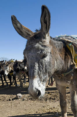 Photograph - Moroccan Donkey by Mick House
