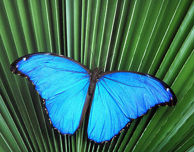 Morpho Butterfly On Fan Palm Art Print by Robert Jensen