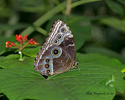 Photograph - Morpho by Mike Fitzgerald