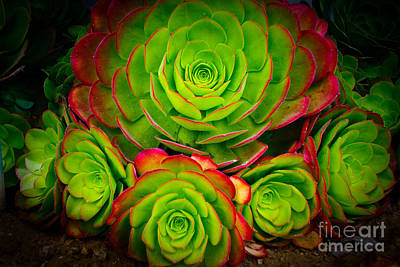 Morro Bay Echeveria Art Print