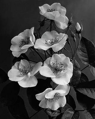 Black And White Photograph - Moschata Alba by J. Horace McFarland