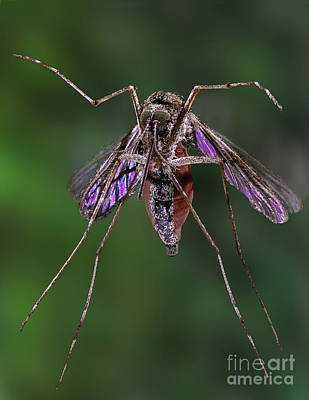 Bloodsucker Photograph - Mosquito by Darwin Dale
