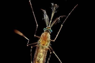 Bloodsucker Photograph - Mosquito by Frank Fox