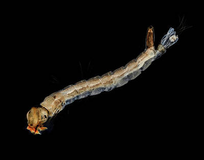 Larvae Photograph - Mosquito Larva by Us Geological Survey