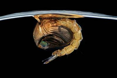 Larvae Photograph - Mosquito Pupa by Frank Fox