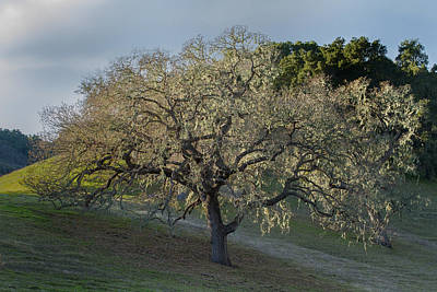 Photograph - Moss Covered California Oak by Roger Mullenhour