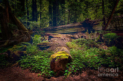 Redwoods Painting - Moss Covered Tree - California Redwoods by Dan Carmichael