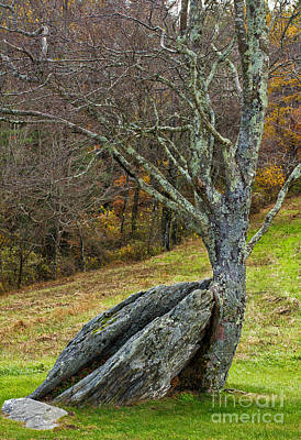 Photograph - Moss Covered Tree Holding A Rock by Les Palenik