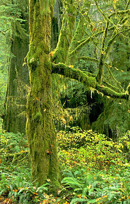 Photograph - Moss Draped Big Leaf Maple California by Dave Welling