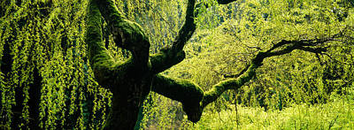 Weeping Willow Photograph - Moss Growing On The Trunk Of A Weeping by Panoramic Images