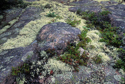 Photograph - Moss On Rock-lubec-maine II by Harold E McCray