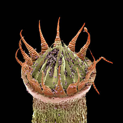 Microscope Image Photograph - Moss Spore Capsule by Natural History Museum, London