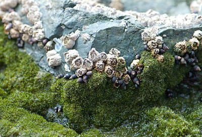 Photograph - Mossy Barnacles by Sarah Crites