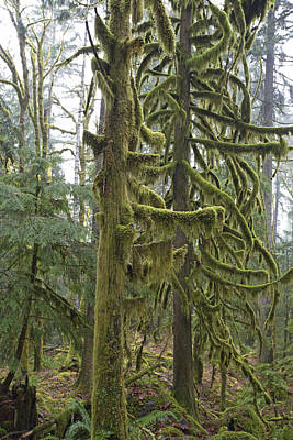 Photograph - Mossy Trees by Gordon  Grimwade