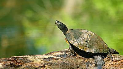 Slider Photograph - Mossy Turtle by David Cutts