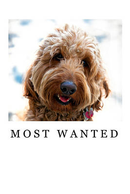 Golden Doodle Photograph - Most Wanted by Madeline Ellis