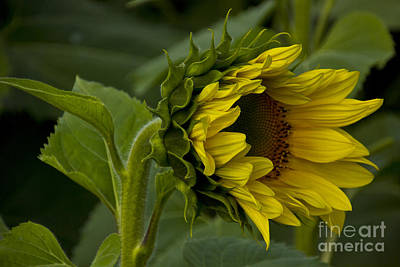 Photograph - Mostly Open Sunflower by Bill Woodstock