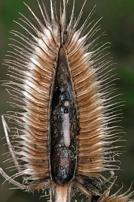 Moth Caterpillar In Teasel Art Print by Dr. John Brackenbury/science Photo Library