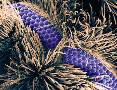Photograph - Moth Fly Eyes Sem by Asa Thoresen