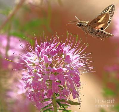 Photograph - Moth On A Flower by Adam Jewell