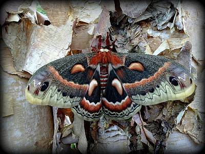 Photograph - Moth On Paper Birch by Joel E Blyler