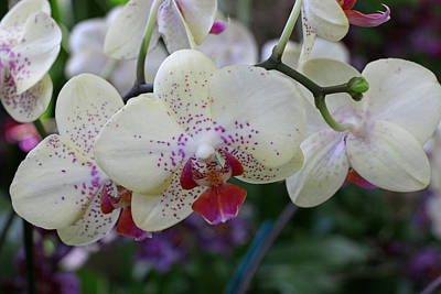 Photograph - Moth Orchid 3 by Allen Beatty