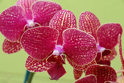 Photograph - Moth Orchid 4 by Allen Beatty