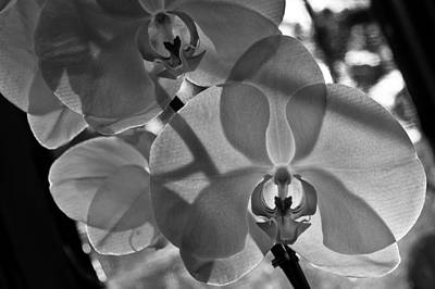 Photograph - Moth Orchid Backlit by Ron White
