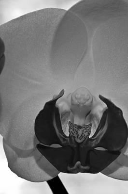 Photograph - Moth Orchid Bw by Ron White