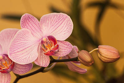 Photograph - Moth Orchid by Ed Gleichman