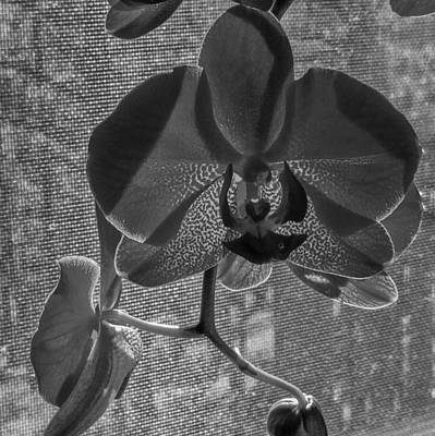 Photograph - Moth Orchid In Window by Ron White