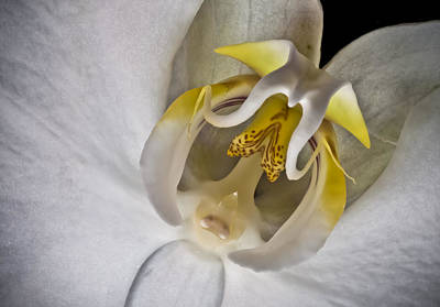 Photograph - Moth Orchid Inverted by Ron White