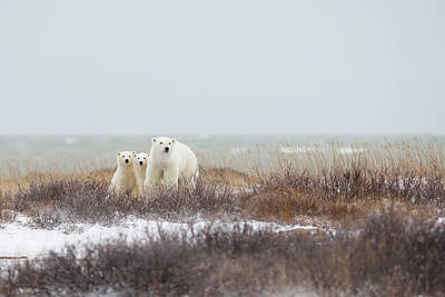 Bear Photograph - Mother & Cubs At The Seaside by Marco Pozzi