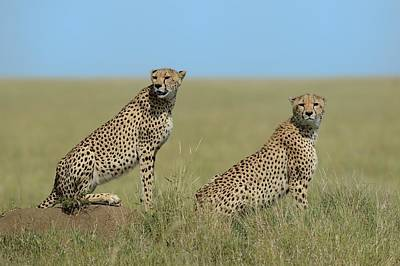 Cheetah Photograph - Mother & Son by Marco Pozzi