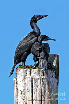 Mother And Baby Brandt's Cormorants Art Print