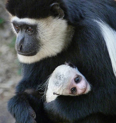 Photograph - Mother And Baby Colobus by Margaret Saheed