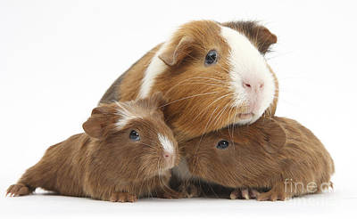 House Pet Photograph - Mother And Baby Guinea Pigs by Mark Taylor