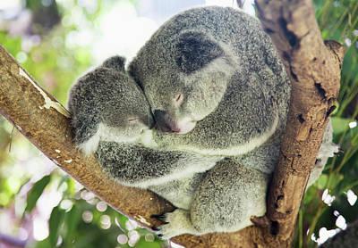 Mother And Baby Koala Bears Art Print